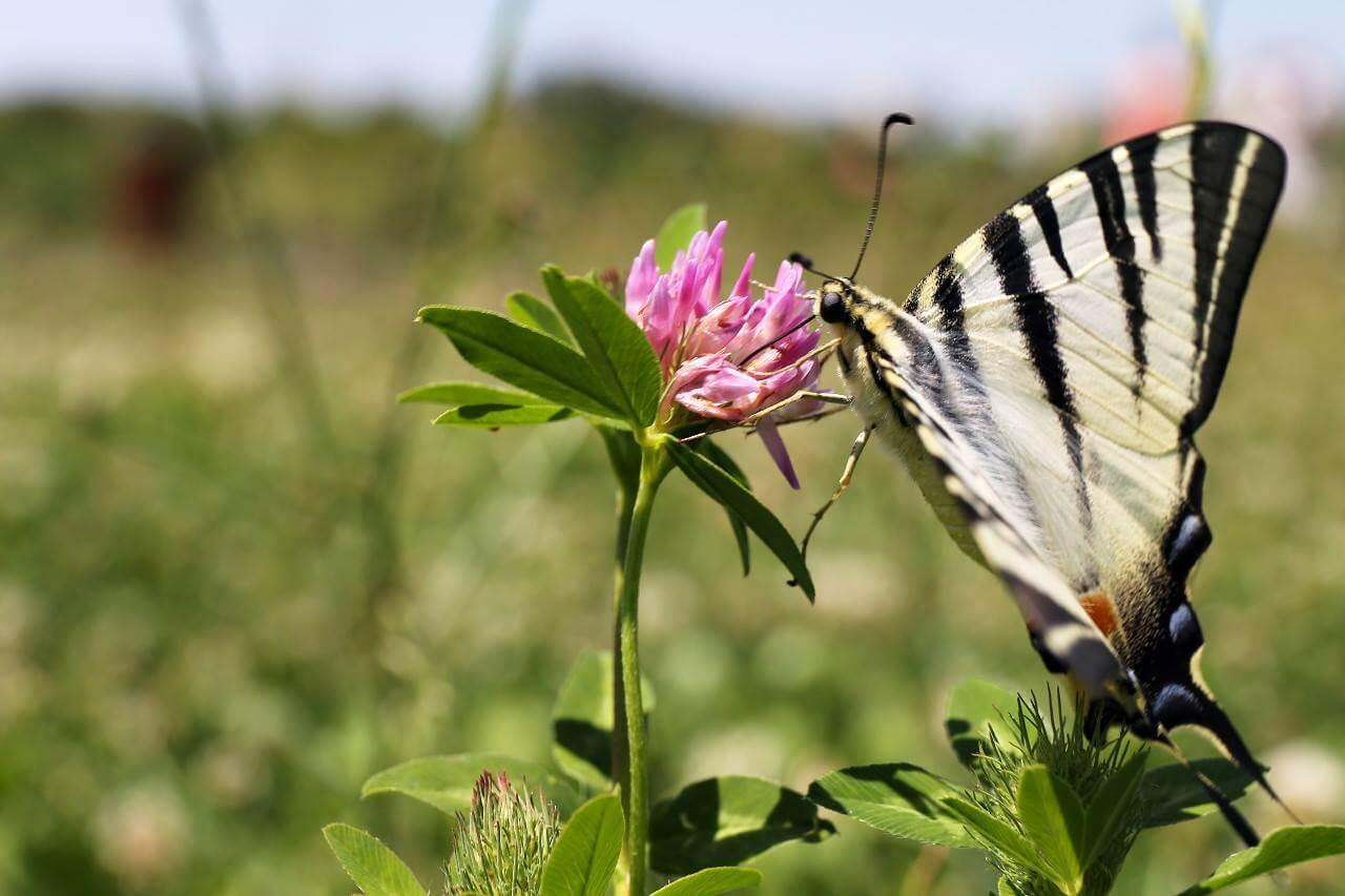 fluture-vara
