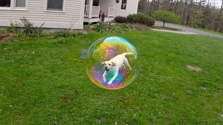 caine-balon-prins-bula